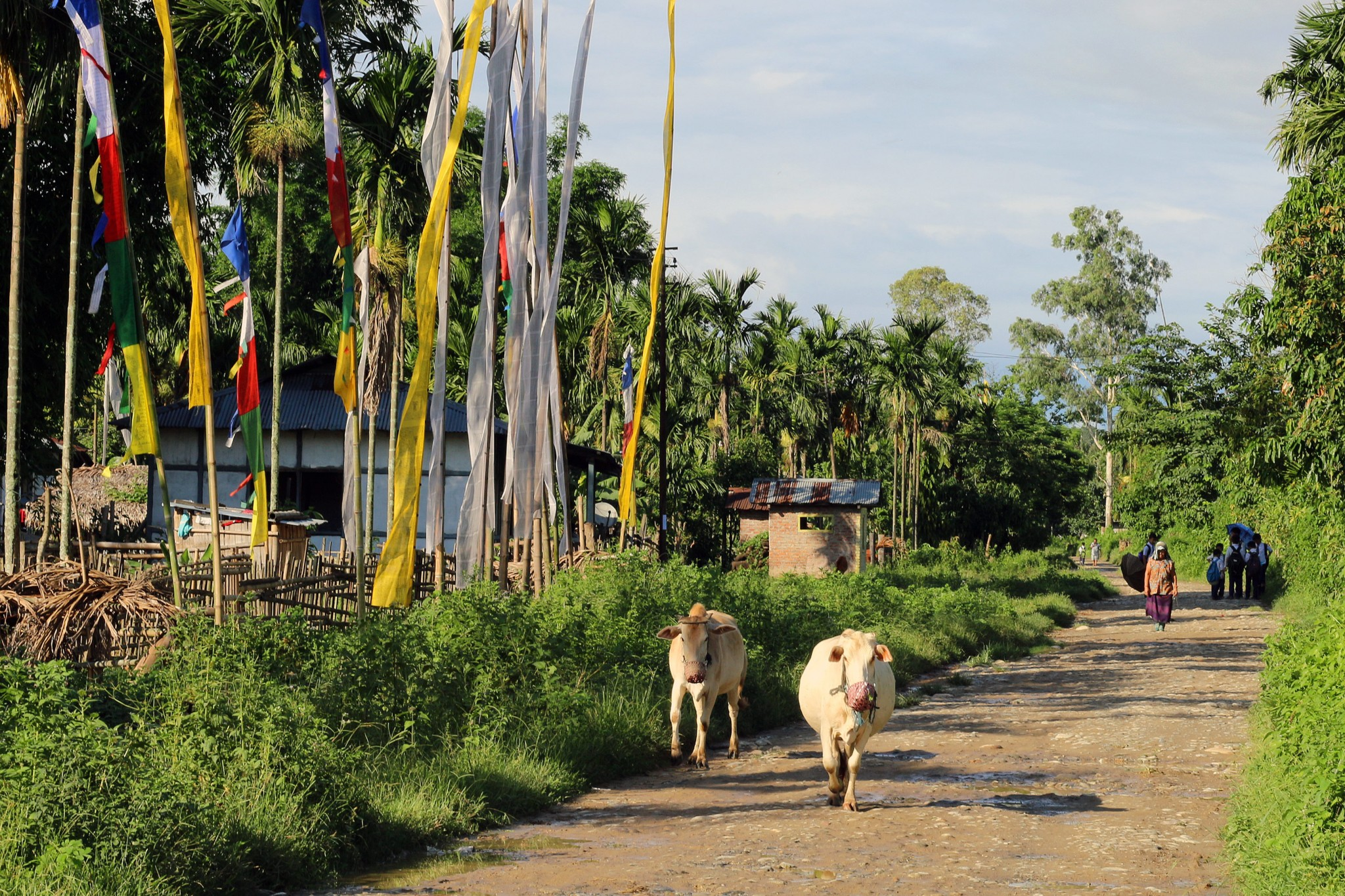 Cows walk along the main road in the Miao settlement.