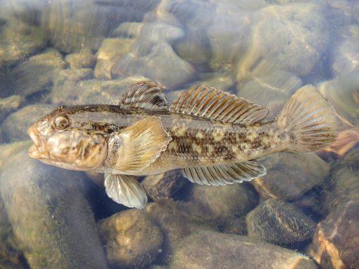 Conservation conundrum: When invasive species benefit native species